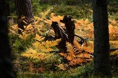 brennender roter Farn verlässt im trockenen sonnigen Herbst mit altem trockenem Holz Stockfotografie