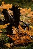 brennender roter Farn verlässt im trockenen sonnigen Herbst mit altem trockenem Holz Stockbilder