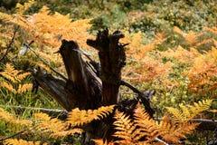 brennender roter Farn verlässt im trockenen sonnigen Herbst mit altem trockenem Holz Stockfotos