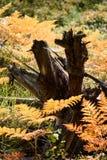 brennender roter Farn verlässt im trockenen sonnigen Herbst mit altem trockenem Holz Lizenzfreie Stockbilder