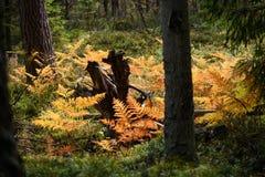brennender roter Farn verlässt im trockenen sonnigen Herbst mit altem trockenem Holz Lizenzfreie Stockfotografie