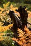 brennender roter Farn verlässt im trockenen sonnigen Herbst mit altem trockenem Holz Lizenzfreies Stockbild