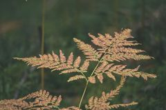 brennender roter Farn verlässt im trockenen sonnigen Herbst - Weinlesefilmblick Stockfotos
