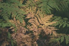 brennender roter Farn verlässt im trockenen sonnigen Herbst - Weinlesefilmblick Stockbilder