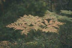 brennender roter Farn verlässt im trockenen sonnigen Herbst - Weinlesefilmblick Stockbild