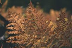 brennender roter Farn verlässt im trockenen sonnigen Herbst - Weinlesefilmblick Lizenzfreies Stockbild