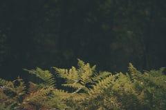 brennender roter Farn verlässt im trockenen sonnigen Herbst - Weinlesefilmblick Lizenzfreie Stockbilder