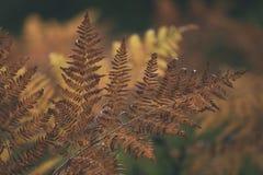 brennender roter Farn verlässt im trockenen sonnigen Herbst - Weinlesefilmblick Stockfotografie
