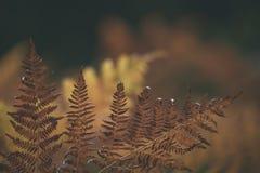 brennender roter Farn verlässt im trockenen sonnigen Herbst - Weinlesefilmblick Lizenzfreies Stockfoto