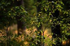 brennendes rotes Suppengrün verlässt im trockenen sonnigen Herbst Stockfoto