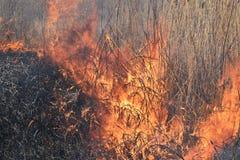 Brennendes trockenes Gras und Schilfe Stockbilder