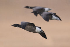 Brent or Brant Geese in flight, close up. Close up of Dark-bellied Brent Goose or Dark-bellied Brant, Branta bernicla bernicla, geese in flight against a beach Stock Photo