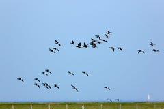 Brent ganzen tijdens de vlucht over Hallig Hooge Royalty-vrije Stock Afbeelding