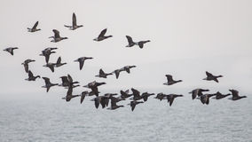Brent Geese Fotografia Stock