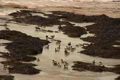 Brent Geese Photos stock