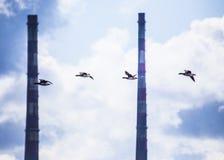 Brent Geese en vuelo con el faro de Poolbeg en fondo foto de archivo libre de regalías