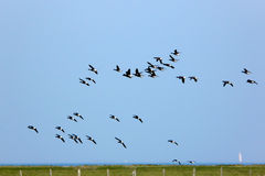 Brent geese in flight over the Hallig Hooge. Every year, thousands of Brent geese (Branta bernicla) have a rest on the small island Hallig Hooge in the North sea Royalty Free Stock Image