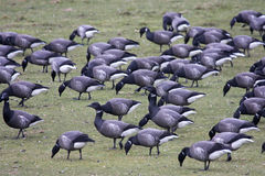 Brent Geese Stock Images