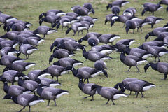 Brent Geese. Flock of Brent geese in a field stock photography