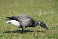 Brent Goose. Foraging on farmland Stock Images