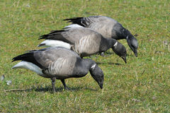 Brent Goose. Foraging together on farmland stock photography