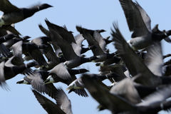 Brent Goose. Group of Brent Goose flying close-up Stock Photos