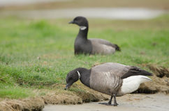 Brent goose. Two brent goose lookong for food Stock Photos