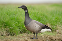 Brent goose Royalty Free Stock Image