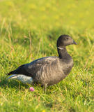 Brent Goose. The Brent Goose ( Branta bernicla) is a comparatively small goose with a distinctively short and stubby beak, numerous flocks overwinter in The Stock Photo