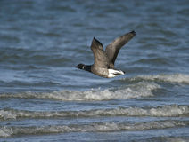 Brent Goose. (branta bernicla) in flight Stock Photos