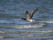 Brent Goose. (branta bernicla) in flight stock photos