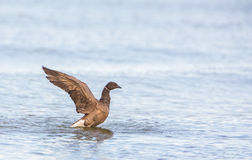 Brent Goose beating it's wings. A Brent Goose ( Branta bernicla) beats it's wings after a refreshing bath in the baltic sea in Lithuania Royalty Free Stock Image