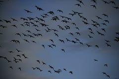 Brent goose, Branta bernicla. Dark bellied, group in flight, Norfolk Stock Photos
