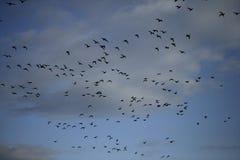 Brent goose, Branta bernicla Royalty Free Stock Images