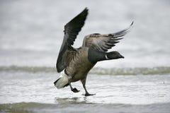 Brent goose, Branta bernicla Stock Images