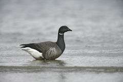 Brent goose, Branta bernicla Royalty Free Stock Photos
