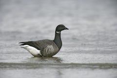 Brent goose, Branta bernicla. Dark bellied, single bird by water, Norfolk Royalty Free Stock Photos