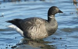 A Brent Goose Branta bernicla feeding on the shoreline in the sea at high tide. royalty free stock photos