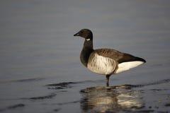 Brent goose, Branta bernicla hrota. Light bellied Stock Images