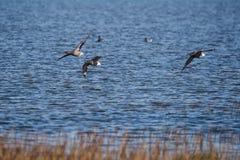 Brent Goose, Branta bernicla. Water Birds - Gooses - Brent Goose, Branta bernicla Royalty Free Stock Images