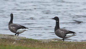 Brent Goose couple. As all geese species, also the Brent Goose (Branta bernicla) forms a lifelong union with its partner Stock Image