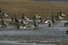 Brent goose, dark-bellied, Branta bernicla Royalty Free Stock Photography