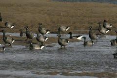 Brent goose, dark-bellied, Branta bernicla. Group in water in Norfolk Royalty Free Stock Photography