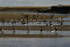 Brent goose, dark-bellied, Branta bernicla Stock Photography