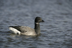 Brent goose, dark-bellied, Branta bernicla Stock Photos