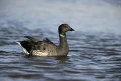 Brent goose, dark-bellied, Branta bernicla Stock Photo