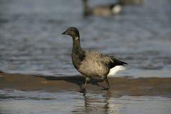 Brent goose, dark-bellied, Branta bernicla. In water in Norfolk Royalty Free Stock Photo