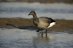 Brent goose, dark-bellied, Branta bernicla Royalty Free Stock Photos