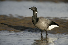 Brent goose, dark-bellied, Branta bernicla Royalty Free Stock Images