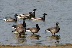 Brent Goose Royalty Free Stock Photography